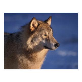 lobo gris, lupus de Canis, en las colinas de 2 Postales