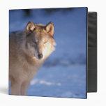 """lobo gris, lupus de Canis, en las colinas de Carpeta 1 1/2"""""""