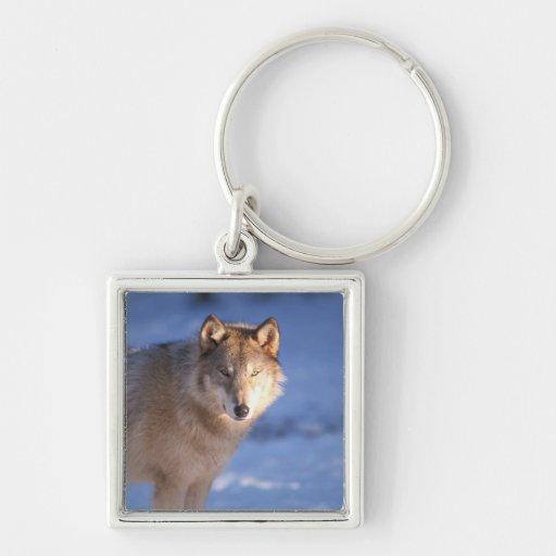 lobo gris, lupus de Canis, en las colinas de Llavero Personalizado