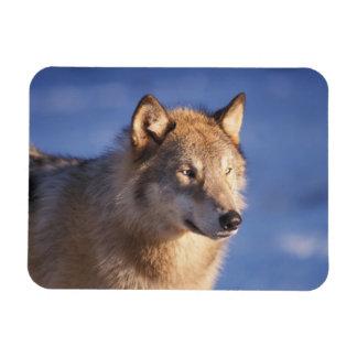 lobo gris, lupus de Canis, en las colinas de los 2 Imán Flexible