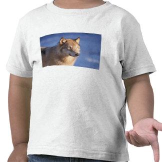 lobo gris, lupus de Canis, en las colinas de los 2 Camisetas