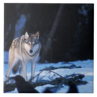 lobo gris, lupus de Canis, en las colinas de los 3 Azulejo Cuadrado Grande