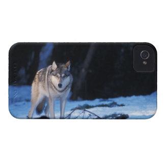 lobo gris, lupus de Canis, en las colinas de los 3 Case-Mate iPhone 4 Carcasas