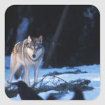 lobo gris, lupus de Canis, en las colinas de los 3 Pegatina Cuadradas