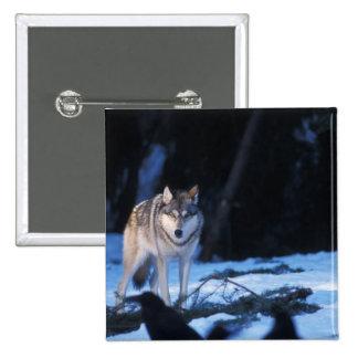 lobo gris, lupus de Canis, en las colinas de los 3 Pin Cuadrada 5 Cm