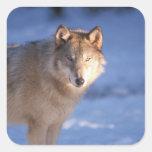 lobo gris, lupus de Canis, en las colinas de Calcomanía Cuadradas Personalizada