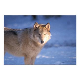 lobo gris, lupus de Canis, en las colinas de Foto