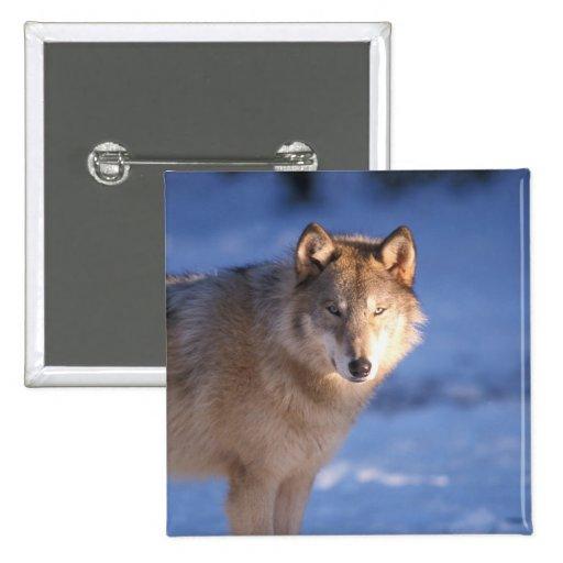 lobo gris, lupus de Canis, en las colinas de Pin Cuadrada 5 Cm