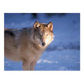 lobo gris, lupus de Canis, en las colinas de Tarjeta Postal