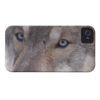 lobo gris, lupus de Canis, en las colinas del Case-Mate iPhone 4 Protector