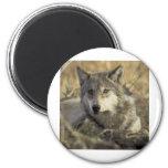 Lobo gris magnífico imán de frigorífico