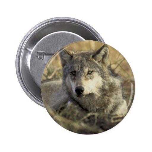 Lobo gris magnífico pins