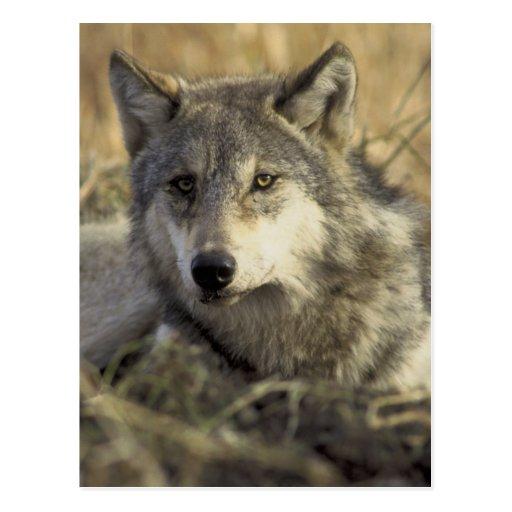 Lobo gris magnífico postal