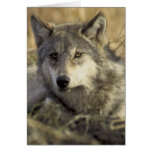 Lobo gris magnífico tarjeta
