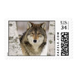 Lobo gris majestuoso en bosque nevado timbres postales