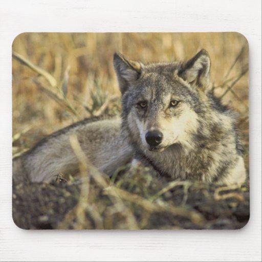 Lobo gris Mousepad Tapete De Ratones