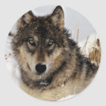 Lobo gris o lobo de madera que pone en la nieve etiqueta redonda
