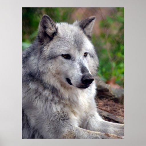 Lobo gris Pose-168 Poster