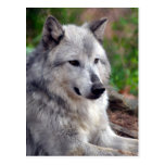 Lobo gris Pose-168 Tarjetas Postales
