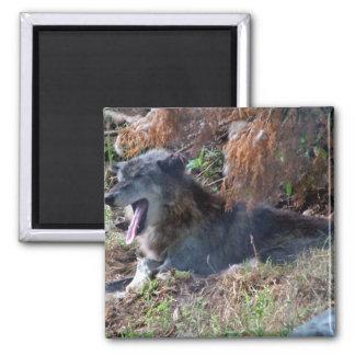 Lobo gris que bosteza Parque zoológico América H Imán Para Frigorífico