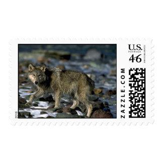 Lobo gris que forrajea a lo largo del río helado