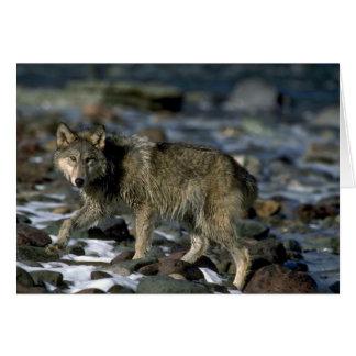 Lobo gris que forrajea a lo largo del río helado tarjeton