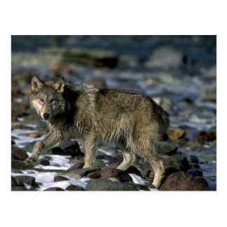 Lobo gris que forrajea a lo largo del río helado postal