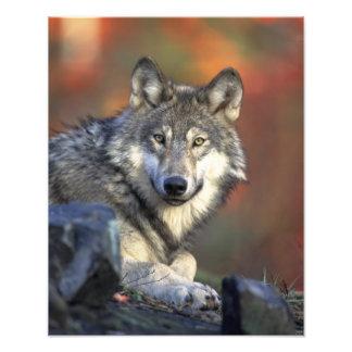 Lobo hermoso fotografía
