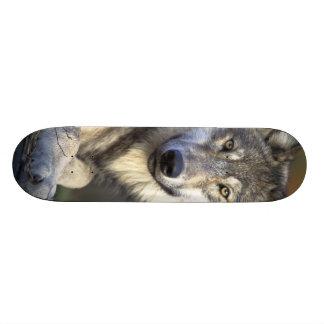 Lobo hermoso tablas de patinar