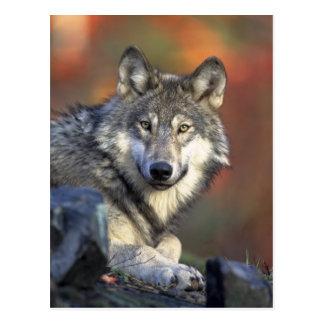 Lobo hermoso tarjeta postal