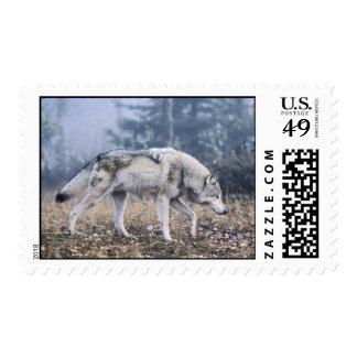 Lobo - lobo gris en el vagabundeo sello
