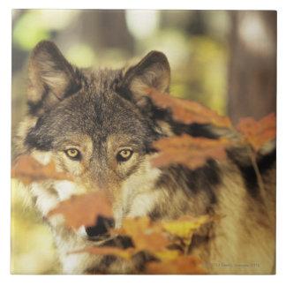 Lobo (lupus de Canis) con el color del otoño, Azulejo Cuadrado Grande