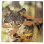 Lobo (lupus de Canis) con el color del otoño, Cana Azulejo Cuadrado Grande