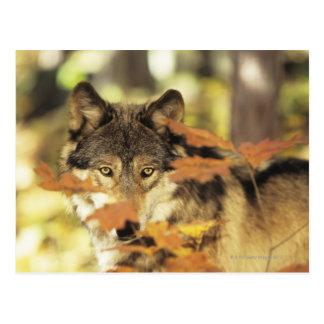 Lobo (lupus de Canis) con el color del otoño, Cana Tarjetas Postales