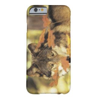 Lobo (lupus de Canis) con el color del otoño, Funda Barely There iPhone 6