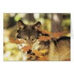 Lobo (lupus de Canis) con el color del otoño, Tarjeta De Felicitación