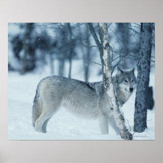Lobo (lupus de Canis) durante invierno Poster