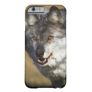 Lobo (lupus de Canis) Funda Barely There iPhone 6