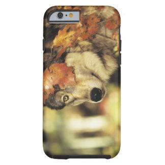 Lobo (lupus de Canis), headshot, con color del Funda Resistente iPhone 6