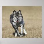 Lobo (lupus de Canis) que corre hacia cámara Poster