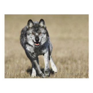 Lobo (lupus de Canis) que corre hacia cámara Postal