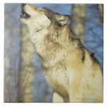 Lobo (lupus de Canis) que grita, primer, Canadá Teja Cerámica