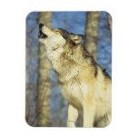 Lobo (lupus de Canis) que grita, primer, Canadá Iman