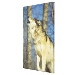 Lobo (lupus de Canis) que grita, primer, Canadá Impresión En Lienzo Estirada