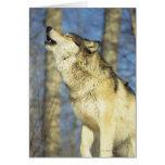 Lobo (lupus de Canis) que grita, primer, Canadá Felicitacion