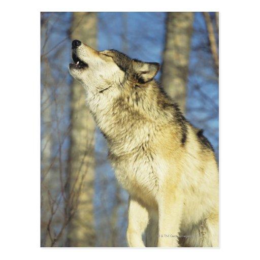 Lobo (lupus de Canis) que grita, primer, Canadá Postales