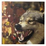Lobo (lupus de Canis) que gruñe, headshot, con Azulejo