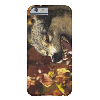 Lobo (lupus de Canis) que gruñe, headshot, con Funda Barely There iPhone 6