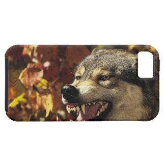 Lobo (lupus de Canis) que gruñe, headshot, con Funda Para iPhone SE/5/5s