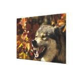 Lobo (lupus de Canis) que gruñe, headshot, con Lona Estirada Galerias